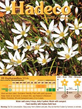 ZEPHYRANTHES WHITE - 4156