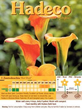 ZANTEDESCHIA HOT SHOT - APRICOT - 302