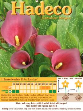 ZANTEDESCHIA RUBY TUESDAY - RUBY RED - 3