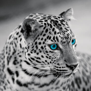 DECO GLASS LEOPARD WITH BLUE EYES 50X50