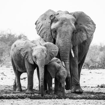 DECO GLASS 20X20 ELEPHANTS